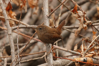 "Eurasian Wren / 굴뚝새 ""Korean"" subspecies Troglodytes troglodytes dauricus Gwangjuho Lake Ecological Park, Chunghyo-dong, Gwangju, South Korea 4 March 2014"