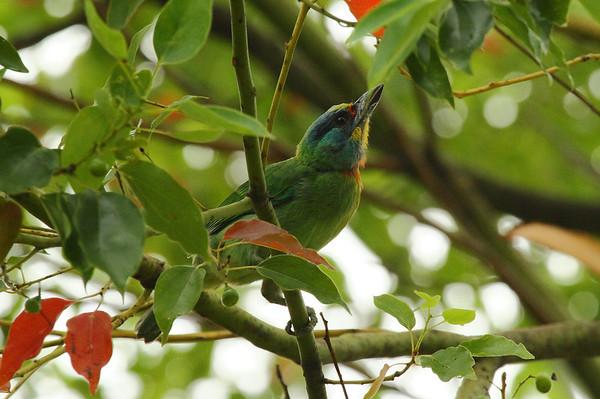 Taiwan Barbet / 台湾拟啄木鸟 Psilopogon nuchalis Da'an Forest Park, Taipei City, Taiwan 15 August 2013