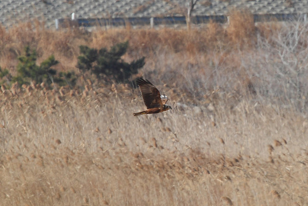 Eastern Marsh Harrier / 개구리매 Circus spilonotus Family Accipitridae Gocheonnam Lake, Hwangsan-myeon, Haenam-gun, Jeollanam-do, South Korea 5 January 2014