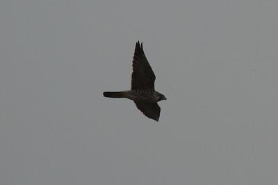 "Peregrine Falcon / 매 ""Japanese"" subspecies Falco peregrinus japonensis Family Falconidae Maekdo Ecological Park, Daejeo 2-dong, Busan, South Korea 20 April 2014"