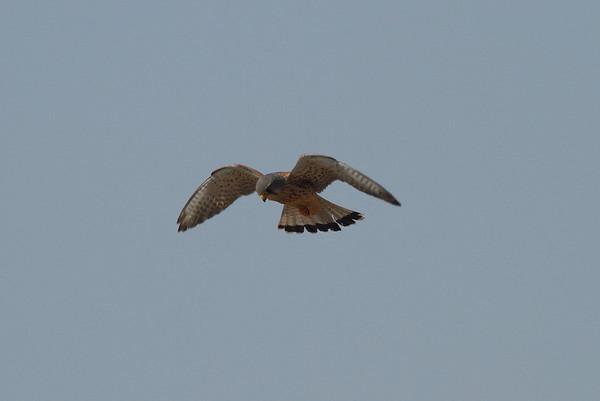 Common Kestrel (male) / 황조롱이 Falco tinnunculus Family Falconidae Maekdo Ecological Park, Daejeo 2-dong, Busan, South Korea 23 March 2014