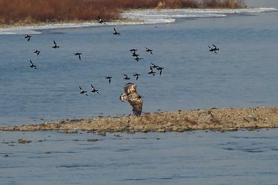 White-tailed Eagle / 흰꼬리수리 Haliaeetus albicilla Family Accipitridae Hangang River, Paldang-ri, Namyangju-si, Gyeonggi-do, South Korea 21 December 2014