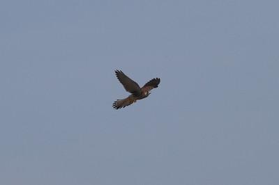 Common Kestrel / 황조롱이 Falco tinnunculus Family: Falconidae Anpung-dong, Suncheon-si, Jeollanam-do, South Korea 30 April 2014