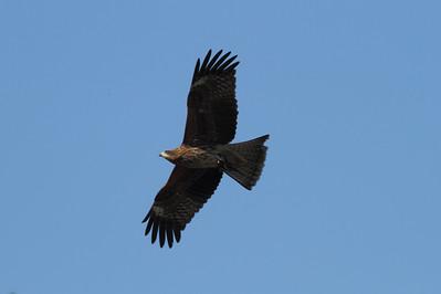 "Black Kite (juvenile) / 솔개 ""Black-eared"" subspecies Milvus migrans lineatus Family Accipitridae Igidae Park, Yongho 3 ga-dong, Busan, South Korea 15 November 2014"