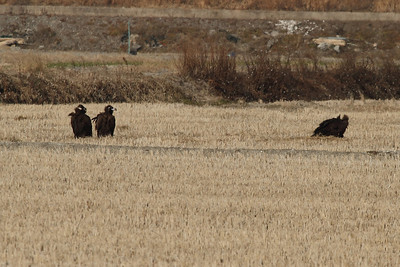 Cinereous Vulture / 독수리Aegypius monachus Family Accipitridae Gocheonnamho Lake, Hwangsan-myeon, Haenam-gun, Jeollanam-do, South Korea 5 January 2014