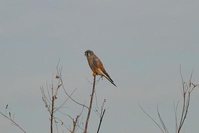 Common Kestrel (male) / 황조롱이 Falco tinnunculus Family Falconidae Samnak Riverside Park, Samnak-dong, Busan, South Korea 16 November 2014