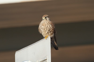 Common Kestrel (juvenile) / 황조롱이 Falco tinnunculus Family Falconidae Yeongsangang River, Yeonje-dong, Gwangju, South Korea 23 January 2015