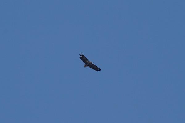 White-tailed Eagle / 흰꼬리수리 Haliaeetus albicilla Family Accipitridae Gocheonnamho Lake, Hwangsan-myeon, Haenam-gun, Jeollanam-do, South Korea 1 January 2015