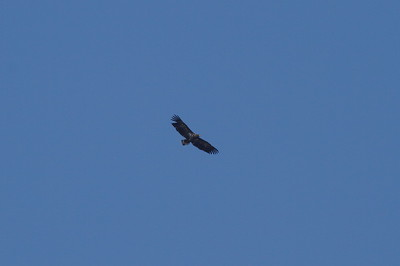 White-tailed Eagle / 흰꼬리수리 Haliaeetus albicilla Family Accipitridae Gocheonnamho Lake, Hwangsan-myeon, Haenam-gun, Jeollanam-do, South Korea 1 January 2015