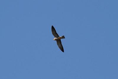 Amur Falcon (female) / 비둘기조롱이 Falco amurensis Family Falconidae Anpung-dong, Suncheon-si, Jeollanam-do, South Korea 19 October 2014