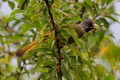 "Collared Finchbill / 领雀嘴鹎 ""Taiwan"" subspecies Spizixos semitorques cinereicapillus Dingbenzai, Zhuqi Township, Chiayi County, Taiwan 13 August 2013"