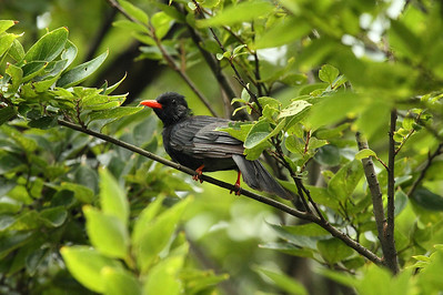 "Black Bulbul / 黑短脚鹎 ""Taiwan"" subspecies Hypsipetes leucocephalus nigerrimus Taipei Botanical Gardens, Taipei City, Taiwan 18 August 2013"
