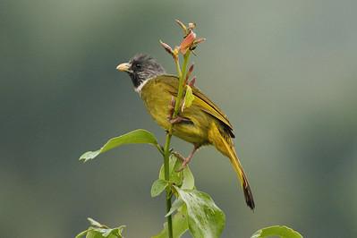 "Collared Finchbill / 领雀嘴鹎 ""Taiwan"" subspecies Spizixos semitorques cinereicapillus Dingbenzai, Zhuqi Township, Chiayi County, Taiwan 12 August 2013"