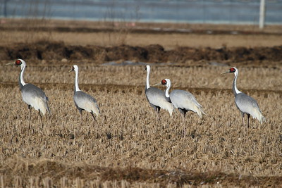 White-naped Crane / 재두루미 Grus vipio Family Gruidae Junam Reservoir, Uichang-gun, Gyeongsangnam-do, South Korea 30 January 2015
