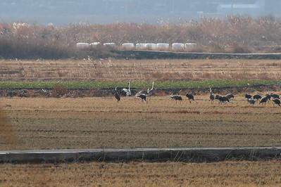White-naped Crane / 재두루미 Grus vipio Family Gruidae Anpung-dong, Suncheon-si, Jeollanam-do, South Korea 30 November 2013