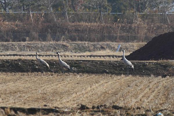 "Common Crane / 검은목두루미 ""Eastern"" subspecies Grus grus lifordi Family Gruidae Suncheonman Bay, Anpung-dong, Suncheon-si, Jeollanam-do, South Korea 30 January 2015"