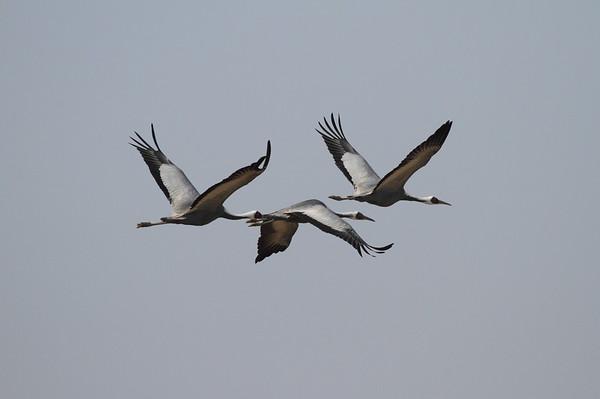 White-naped Crane / 재두루미 Grus vipio Family Gruidae Junam Reservoir, Uichang-gun, Gyeongsangnam-do, South Korea 30 January 2015