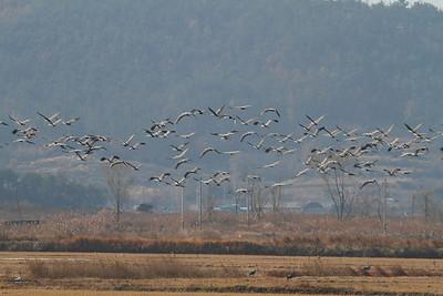 Hooded Crane / 흑두루미 Grus monacha Family Gruidae Anpung-dong, Suncheon-si, Jeollanam-do, South Korea 30 November 2013