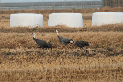 Hooded Crane / 흑두루미 Grus monacha Family Gruidae Anpung-dong, Suncheon-si, Jeollanam-do, South Korea 30 November 2013