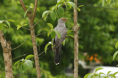 Common Cuckoo / 뻐꾸기 Nominate subspecies Cuculus canorus canorus Yeongsan River, Damyang, Jeollanam-do, South Korea 8 June 2013