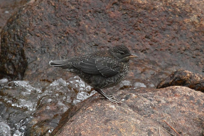 Brown Dipper (juvenile) / 물가마귀 Cinclus pallasii Jirisan National Park, Gurye, Jeollanam-do, South Korea 12 April 2014