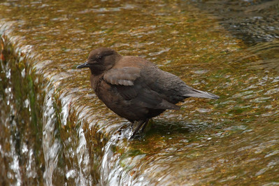 Brown Dipper / 물가마귀 Cinclus pallasii Jirisan National Park, Gurye, Jeollanam-do, South Korea 12 April 2014