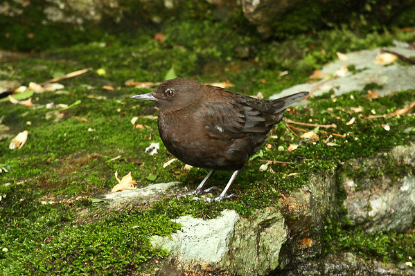 Brown Dipper (male) / 물가마귀 Cinclus pallasii Jirisan National Park, Gurye, Jeollanam-do, South Korea 1 June 2013