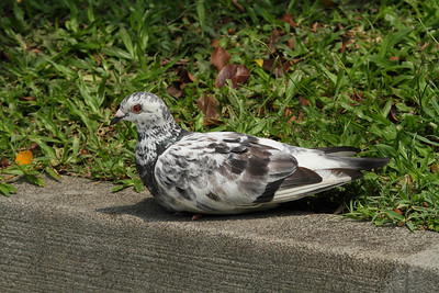 Rock Dove  / 原鸽 Columba livia Chiang Kai-shek Memorial Hall, Taipei City, Taiwan 18 August 2013