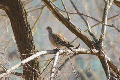 Oriental Turtle Dove / 멧비둘기 Nominate subspecies Streptopelia orientalis orientalis Jeonju University, Jeonju-si, Jeollabuk-do, South Korea 20 February 2013