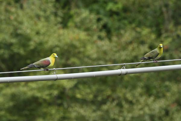 "White-bellied Green Pigeon (male & female) / 红翅绿鸠 ""Taiwan"" subspecies Treron sieboldii sororius Dingbenzai, Zhuqi Township, Chiayi County, Taiwan 13 August 2013"