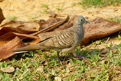 Zebra Dove / นกเขาชวา Geopelia striata Royal Gardens, Siem Reap, Cambodia 18 February 2014