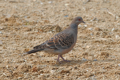 Oriental Turtle Dove / 멧비둘기 Nominate subspecies Streptopelia orientalis orientalis Yeongsangang River, Yeonje-dong, Gwangju, South Korea 25 February 2014