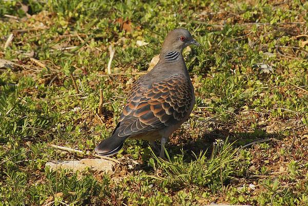 Oriental Turtle Dove / 멧비둘기 Nominate subspecies Streptopelia orientalis orientalis Chunghyo-dong, Gwangju, South Korea 7 April 2013