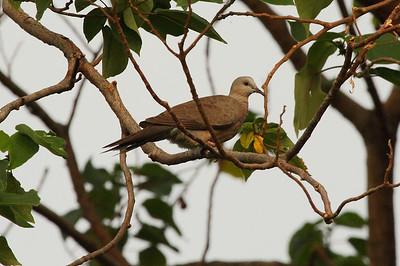 "Spotted Dove (juvenile) / 珠颈斑鸠 ""Taiwan"" subspecies Spilopelia chinensis formosana Hua Jiang Wild Duck Nature Park, Taipei City, Taiwan 10 August 2013"