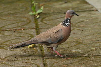 Spotted Dove / 珠颈斑鸠 Nominate subspecies Spilopelia chinensis chinensis Taipei Botanical Garden, Taipei City, Taiwan 18 August 2013