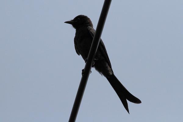 "Black Drongo / 大卷尾, 黑卷尾 ""Taiwan"" subspecies Dicrurus macrocercus harterti Jincheng Lake, Hsinchu City, Taiwan 12 August 2013"