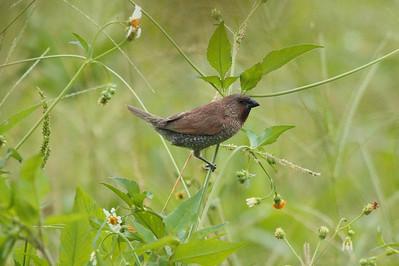 "Scaly-breasted Munia / 斑文鸟 ""Taiwan"" subspecies Lonchura punctulata topela Dingbenzai, Zhuqi Township, Chiayi County, Taiwan 12 August 2013"