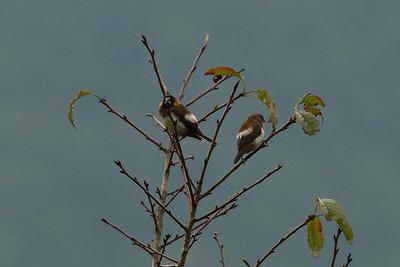 """White-rumped Munia / 白腰文鸟 """"Taiwan"""" subspecies Lonchura striata swinhoei Dingbenzai, Zhuqi Township, Chiayi County, Taiwan 13 August 2013"""