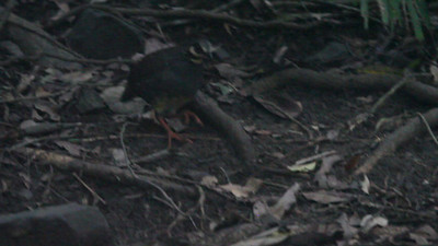 Taiwan Partridge / 台湾山鹧鸪 Arborophila crudigularis Dingbenzai, Zhuqi Township, Chiayi County, Taiwan 12 August 2013  This video shows a Taiwan partridge foraging in the mountainous forests of Chiayi county in Taiwan.  The Taiwan partridge, or hill partridge, is one of three endemic species of grouse on the island of Taiwan.  The droning in the background is the sound of cicadas in the surrounding forest.  This video was shot from a blind in the Dingbenzai area.