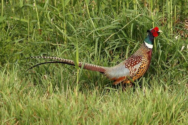 "Common Pheasant (male) / 꿩 ""Korean"" subspecies Phasianus colchicus karpowi Gwanjuho Lake Ecological Park, Chunghyo-dong, Gwangju, South Korea 11 May 2013"