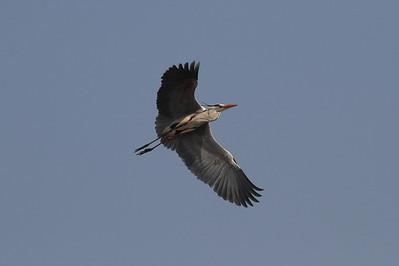 Grey Heron / 왜가리 jouyi subspecies Ardea cinerea jouyi Family Ardeidae Maekdo Ecological Park, Daejeo 2-dong, Busan, South Korea 23 March 2014