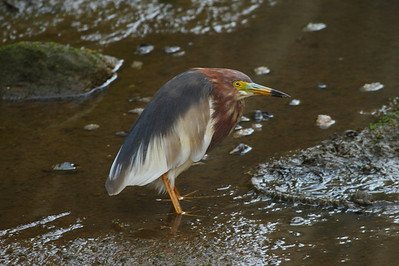 Chinese Pond Heron / 흰날개해오라기 Ardeola bacchus Family Ardeidae Eocheong-do, Jeollabuk-do, South Korea 3 May 2014