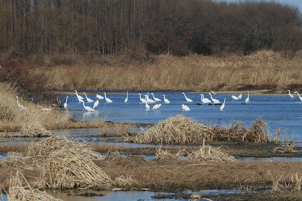 "Great Egret / 대백로 ""Australasian"" subspecies Ardea alba modesta Family Ardeidae Yeongsangang River, Oryong-dong, Gwangju, South Korea 4 February 2014"