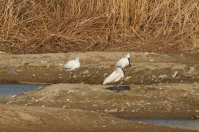 Eurasian Spoonbill / 노랑부리저어새 Nominate subspecies Platalea leucorodia leucorodia Family Threskiornithidae Maekdo Ecological Park, Daejeo 2-dong, Busan, South Korea 22 March 2014