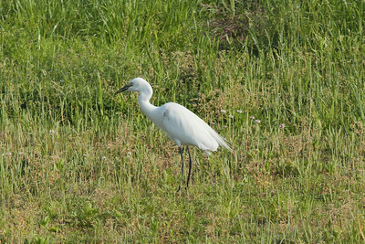 Intermediate Egret / 중백로 Egretta intermedia Family Ardeidae Yeongsangang River, Dongnim-dong, Gwangju, South Korea 1 May 2014