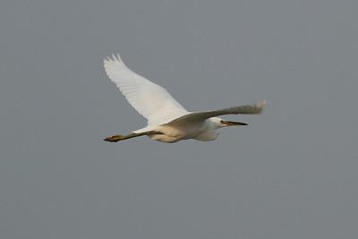 Chinese Egret (juvenile) / 노랑부리백로 Egretta eulophotes Family Ardeidae Yubu-do, Seocheon-gun, Chungcheongnam-do, South Korea 28 September 2014