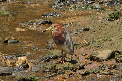 Chinese Pond Heron / 흰날개해오라기 Ardeola bacchus Family Ardeidae Eocheong-do, Jeollabuk-do, South Korea 3 May 2014