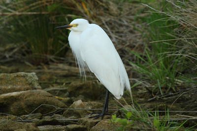 Intermediate Egret / 중백로 Egretta intermedia Family Ardeidae Eocheong-do, Jeollabuk-do, South Korea 5 May 2014