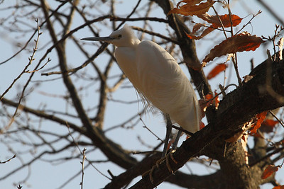 Little Egret / 쇠백로 Nominate subspecies Egretta garzetta garzetta Family Ardeidae Yeongsangang River, Hyanggyo-ri, Damyang-gun, Jeollanam-do, South Korea 1 January 2014