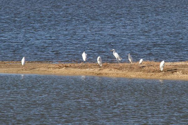"Great Egret / 대백로 ""Australasian"" & ""Eurasian"" subspecies Ardea alba modesta & A. a. alba Family Ardeidae Yeongsangang River, Deokheung-dong, Gwangju, South Korea 4 January 2014"